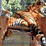 Тигры на Кипре.Пафос.Зоопарк.